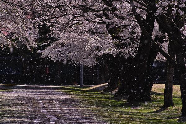 こんな桜吹雪の日もありましたよ♪