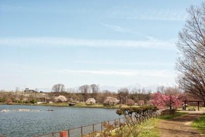 貯水池周りにも桜があります♪