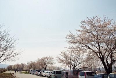 さくラさく小径 駐車場付近の桜