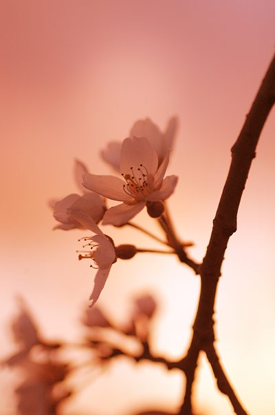 佐久市某所の桜(当社付近)