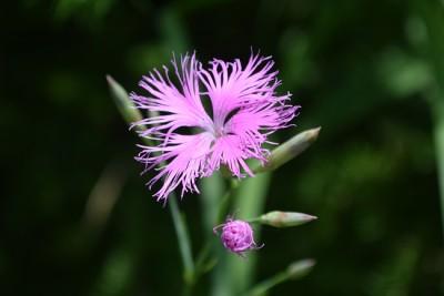 カワラデシコの花